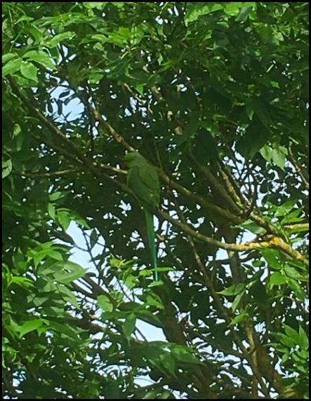 Ring-necked Parakeet 280517