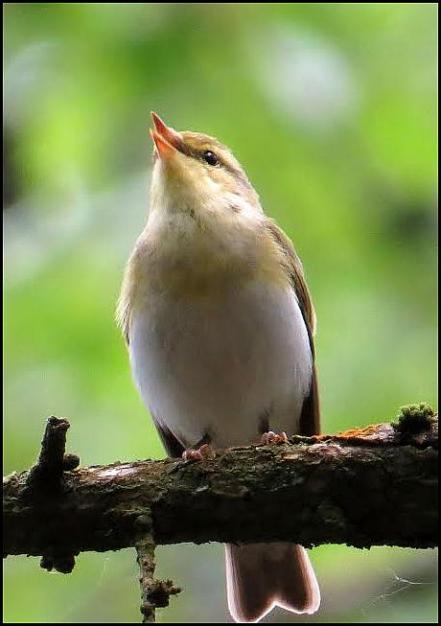 Wood Warbler 110517