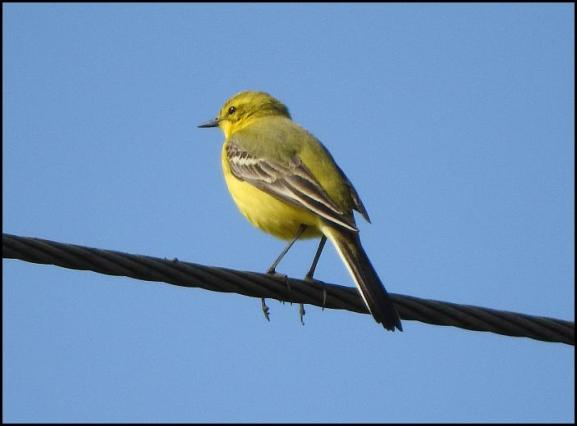 Yellow Wagtail 020517