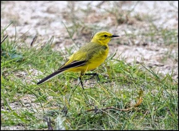 Yellow Wagtail 110517