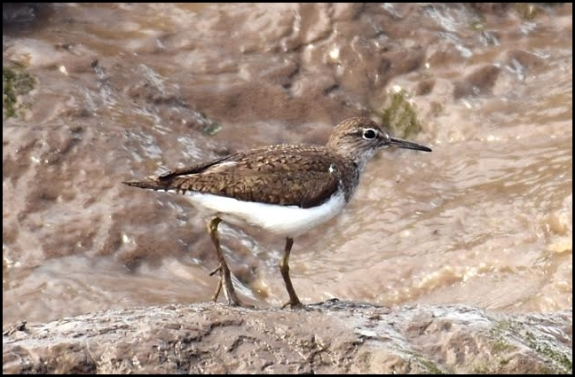 Common Sandpiper 250617