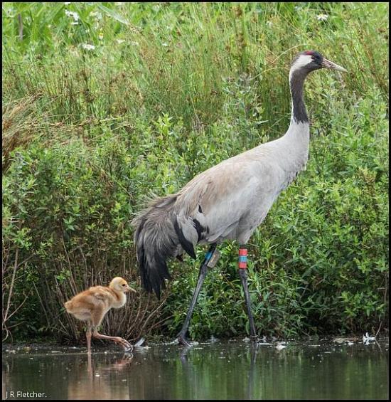 Cranes 290617