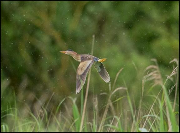 Little Bittern 1 020617