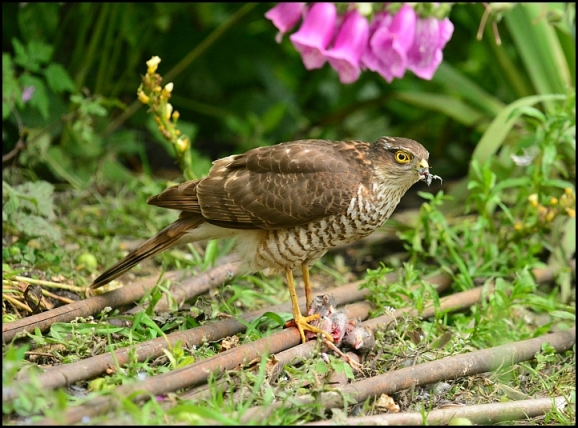 Sparrowhawk 110617