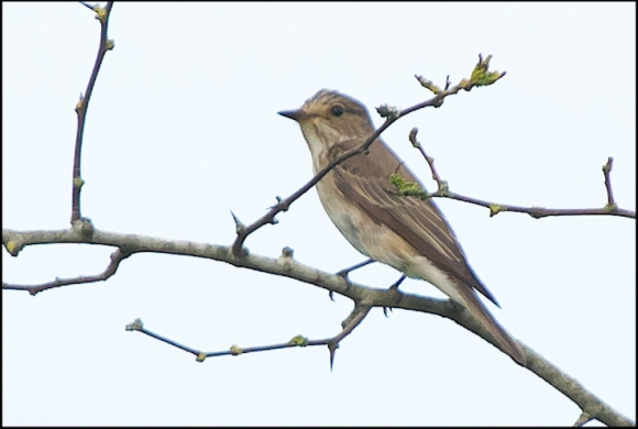 Spotted Flycatcher 110617