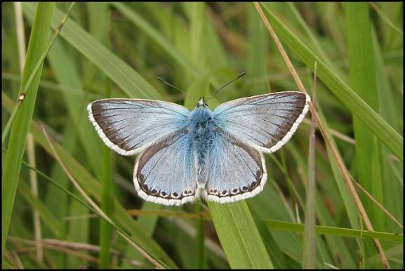 Chalkhill Blue 300717