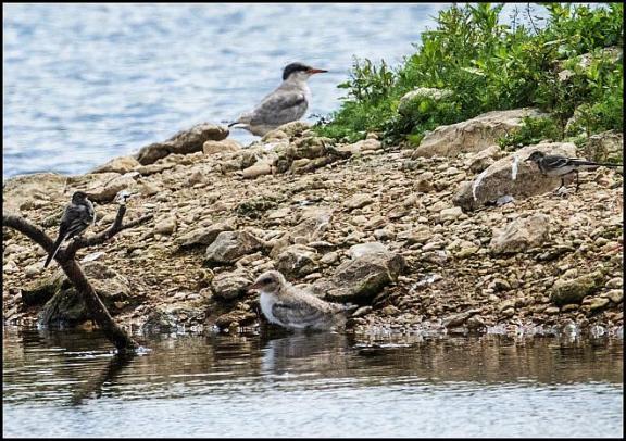 Common Tern 030717