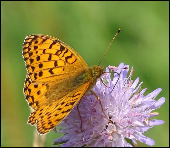 Dark Green Fritillary 120717