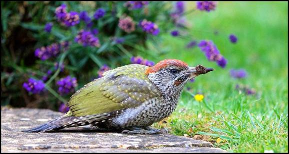 Green Woodpecker 120717