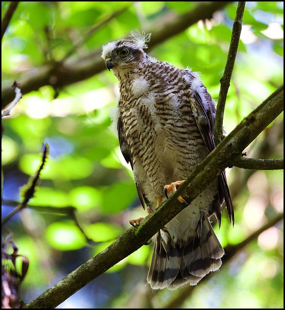 Sparrowhawk 120717