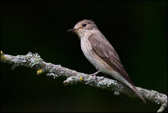 Spotted Flycatcher 170717