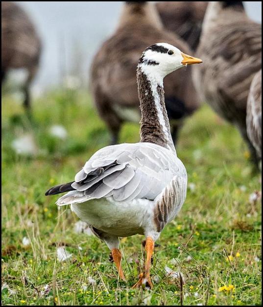 Bar-headed Goose 230817