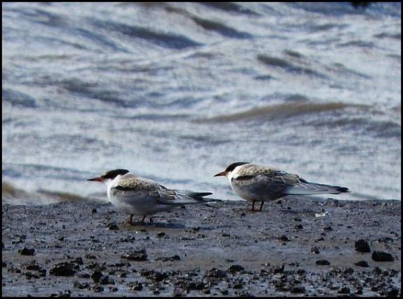 Common Terns juvs 010817