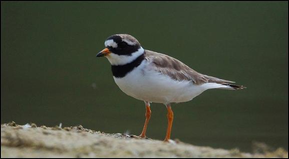 Ringed Plover 210817