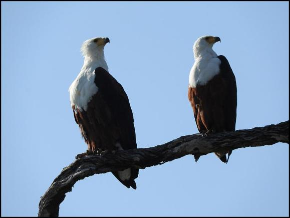 SA African Fish Eagles