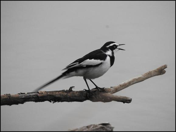 SA African Pied Wagtail