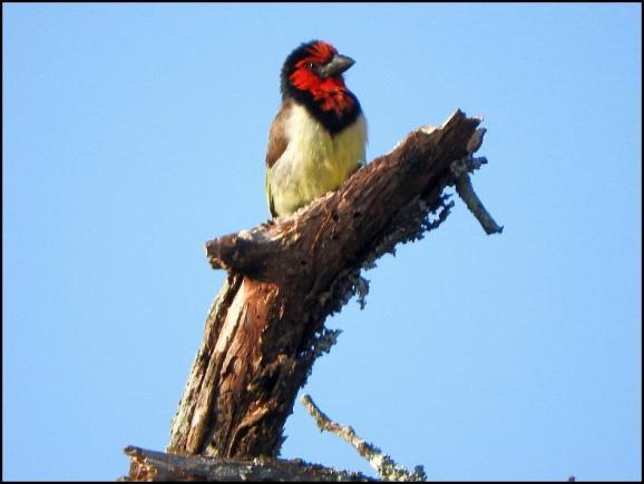 SA Black-collared Barbet