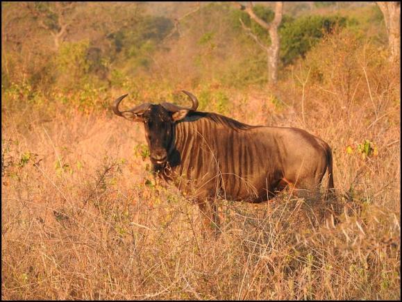 SA Blue Wildebeest 2