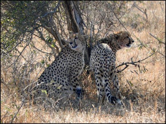 SA Cheetahs