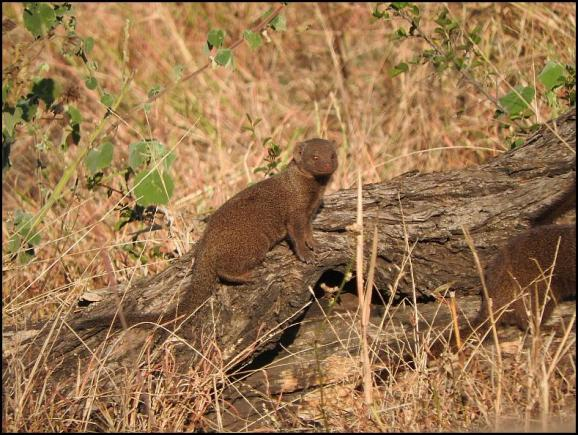 SA Dwarf Mongoose