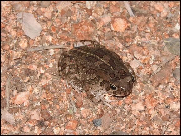 SA Eastern Olive Toad