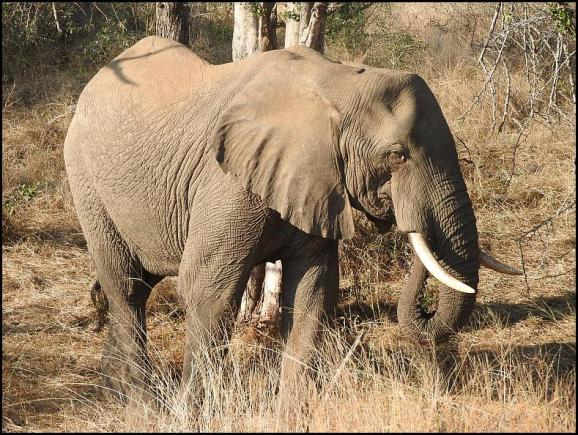 SA Elephant