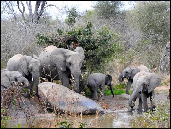SA Elephants