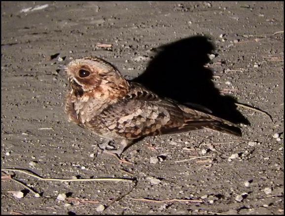 SA Fiery-necked Nightjar