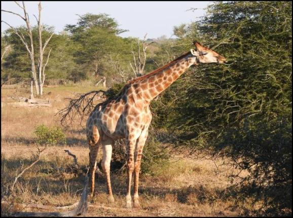 SA Giraffe