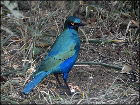SA Greater Blue-eared Starling