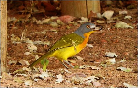 SA Grey-headed Bush Shrike