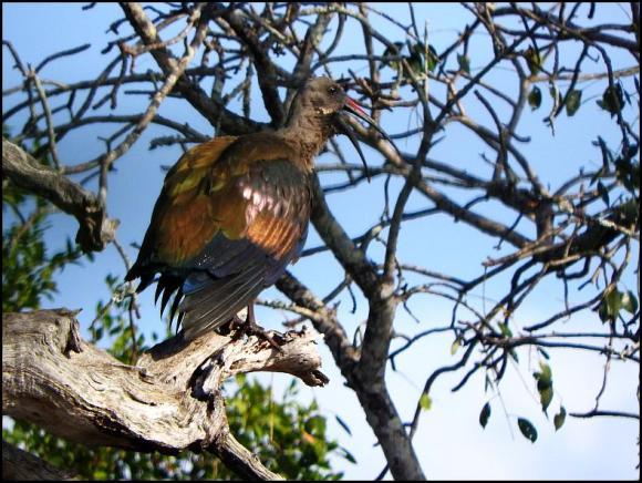 SA Hadeda Ibis