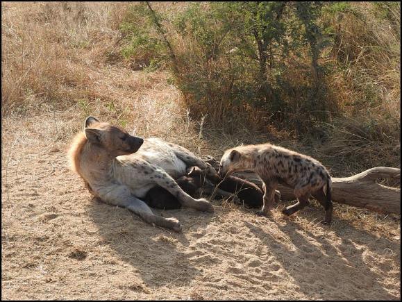 SA Hyenas