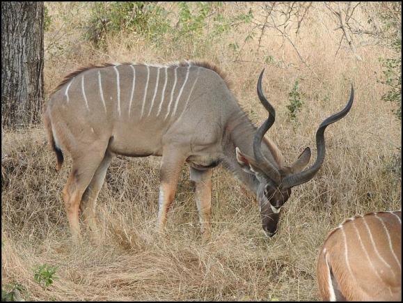 SA Kudu