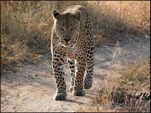 SA Leopard Maxabeni