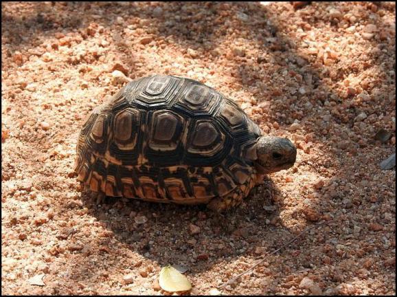 SA Leopard Tortoise