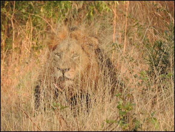 SA Lion