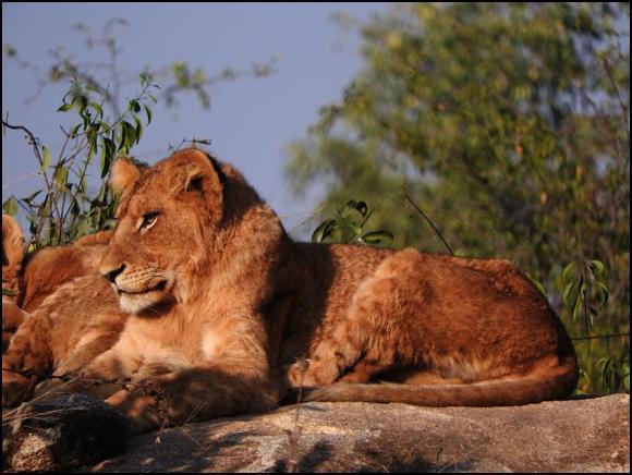 SA Lions