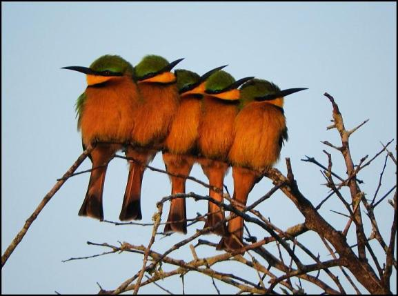SA Little Bee-eaters