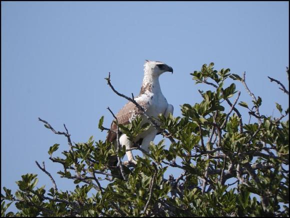 SA Martial Eagle juv