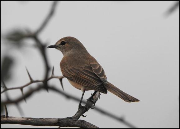 SA Pale Flycatcher