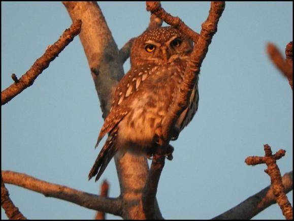 SA Pearl-spotted Owlet