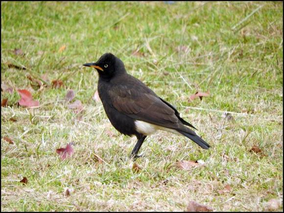 SA Pied Starling