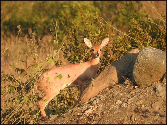 SA Steenbok