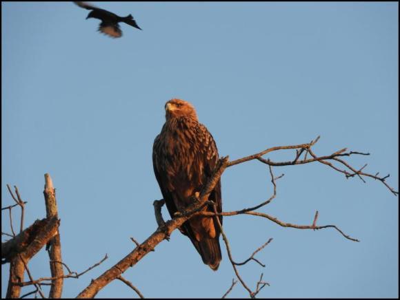 SA Tawny Eagle