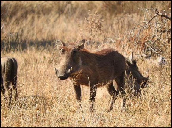 SA Warthog