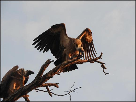 SA White-backed Vultures