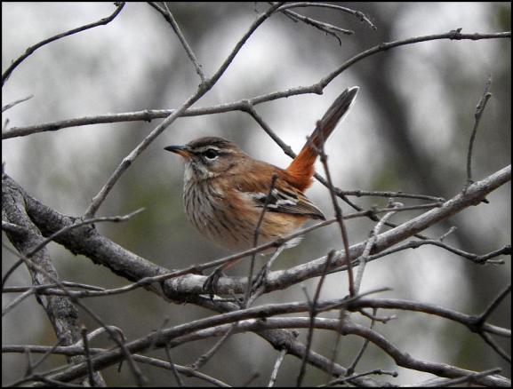 SA White-browed Scrub Robin