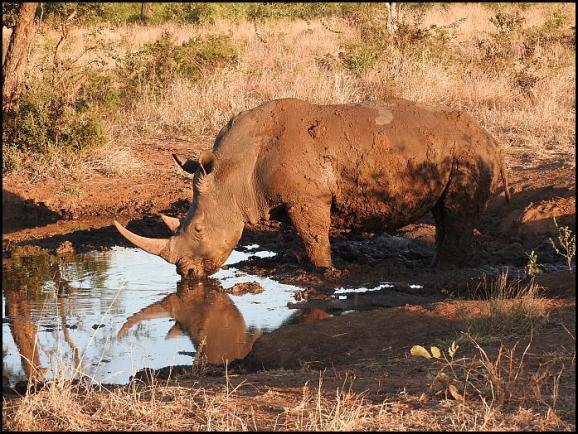 SA White Rhino