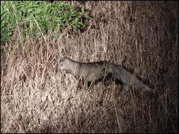 SA White-tailed Mongoose